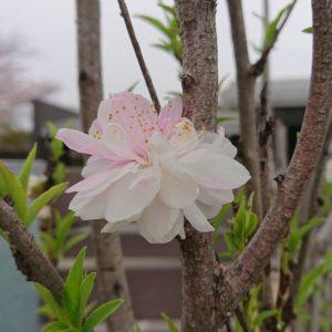 山口の結婚相談所幸せ婚活教室ブログ春の訪れ